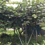 キウイの木あり